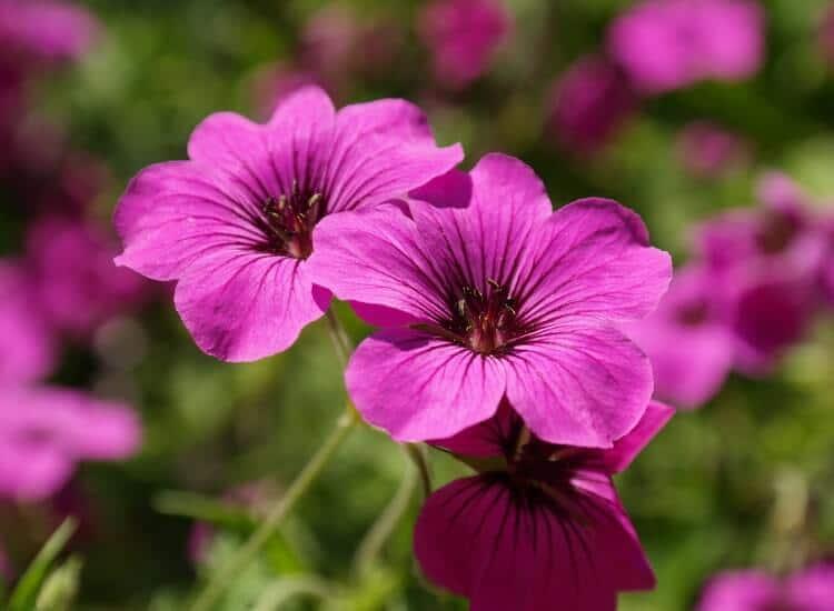 gerani - piante che necessitano poca manutenzione