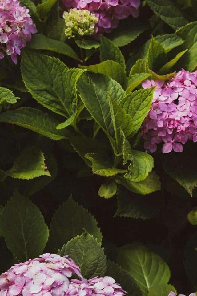 piantare ortensie