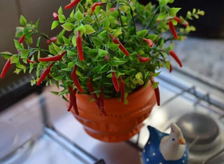 cosa piantare a ottobre - peperoncini