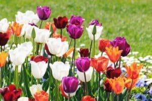 Tulipani per idee aiuole giardino